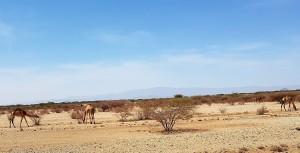 16-12-27-camels